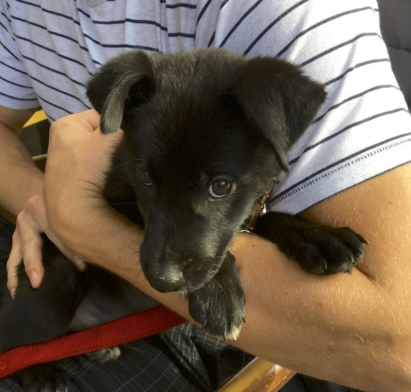 Man Holding 4 Week Old Black Border Collie Labrador Retriever Mix