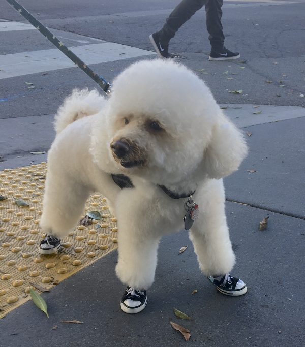 Amazingly Fluffy White Poodle In Sneakers