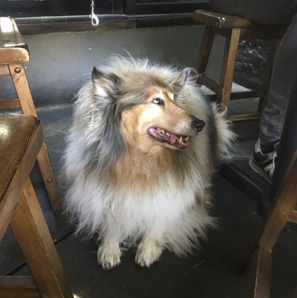 Fluffy Collie Lying Under A Table