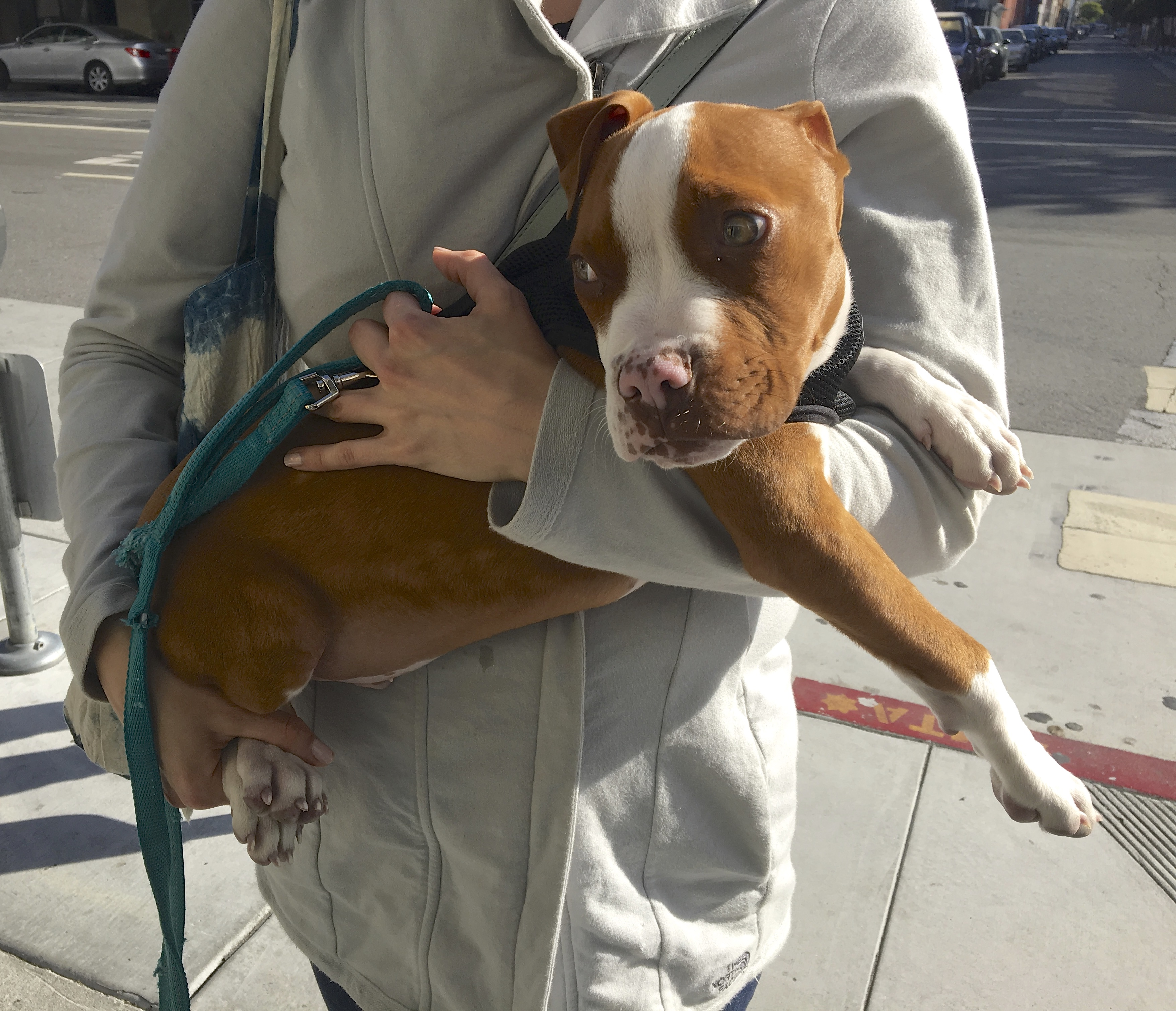 Pit Bull Boxer Mix Puppy In Woman's Arms