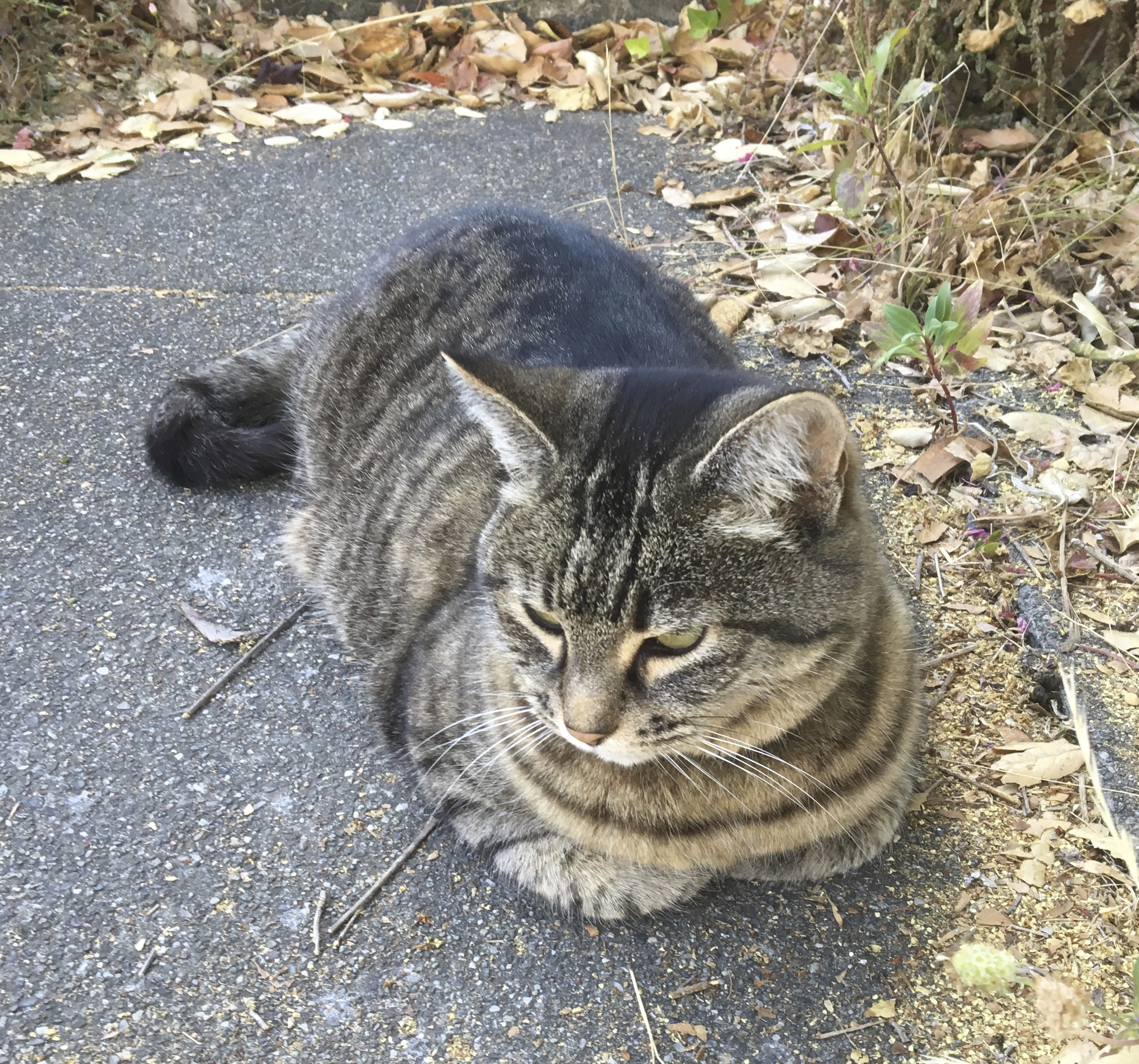 Tiger Tabby Cat Lying On Concrete Driveway