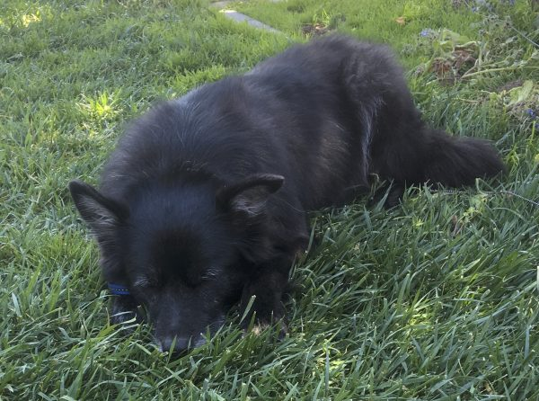 Black Dog Napping In The Grass