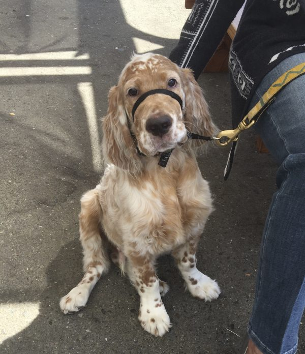 Four Month Old English Setter Puppy With Head Cocked To One Side
