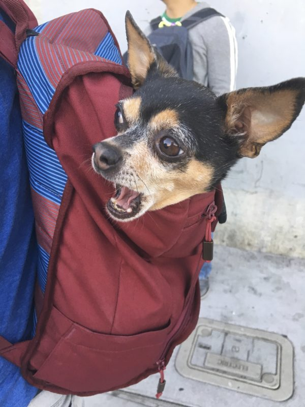 Chihuahua Looking Shocked