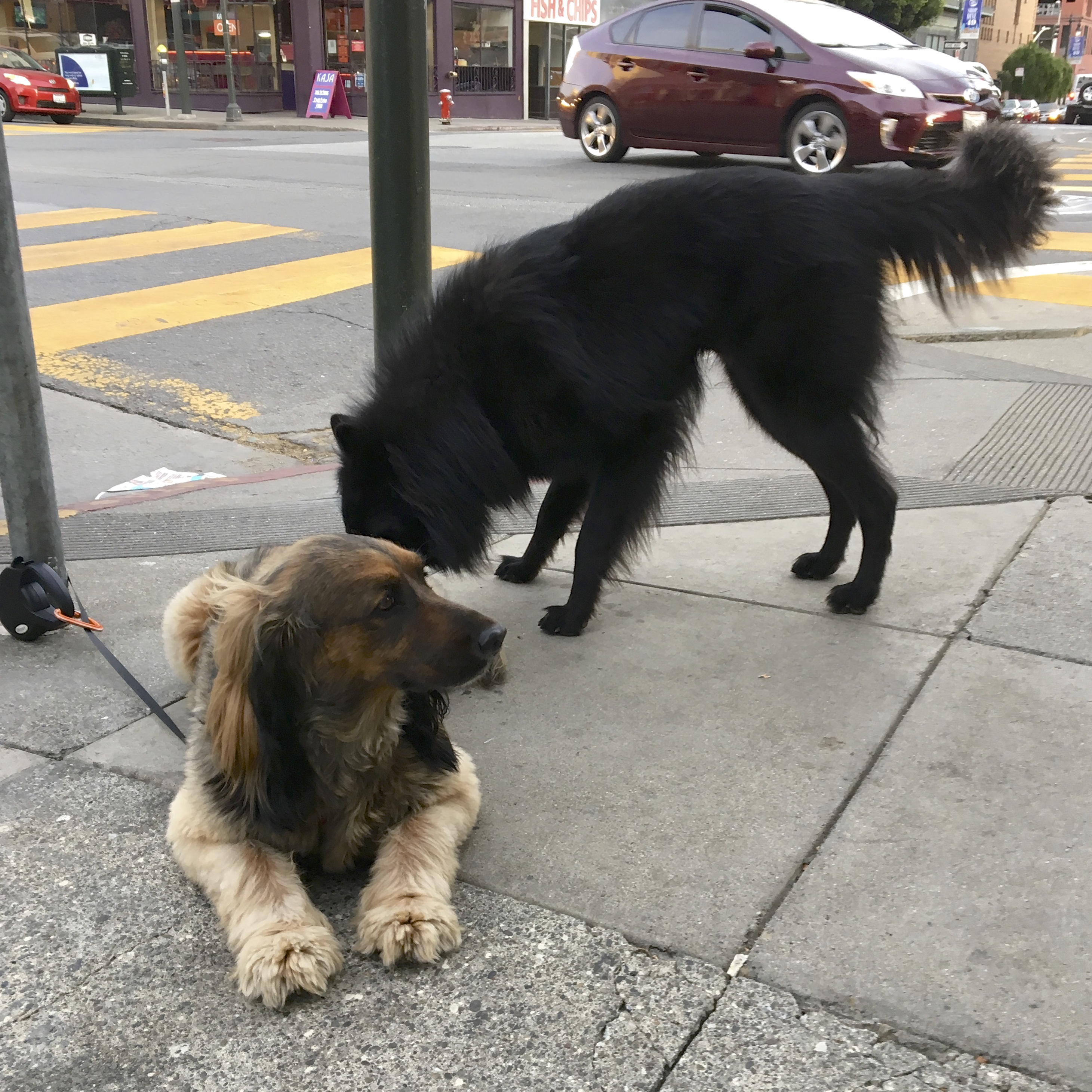 Black Fluffy Dog Sniffing Brown And Black Fluffy Dog's Butt