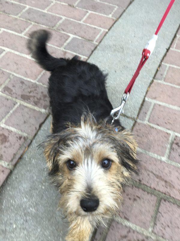 Black And Tan Norfolk Terrier