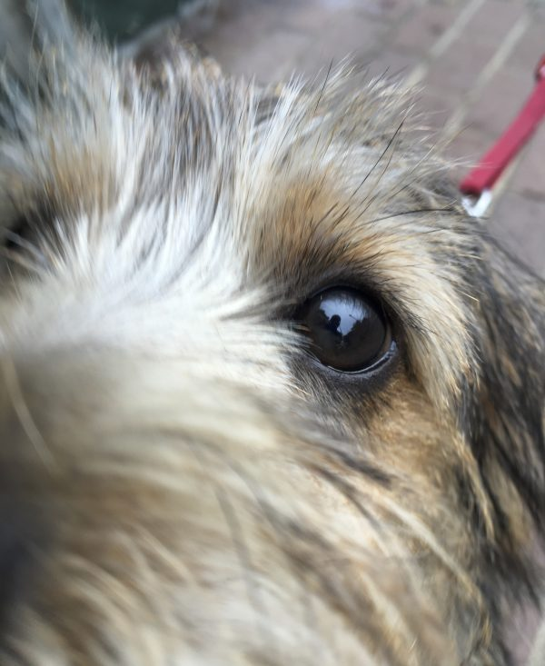 Black And Tan Norfolk Terrier's Eye