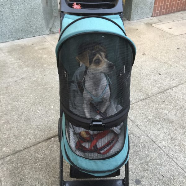 Jack Russell Terrier In A Dog Stroller