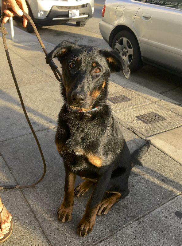 German Shepherd Mix Black With Tan Points And Half Floppy Ears