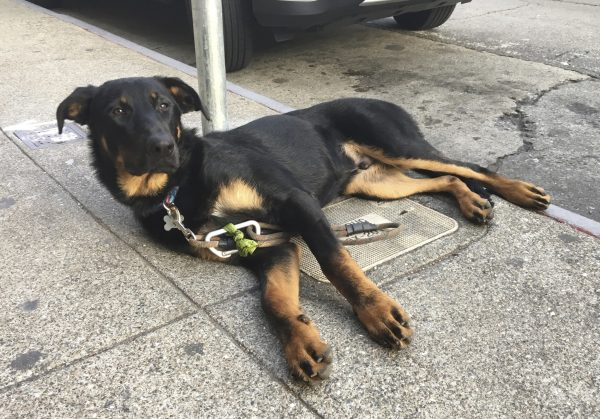 German Shepherd Mix Black With Tan Points And Half Floppy Ears Sprawled On The Sidewalk