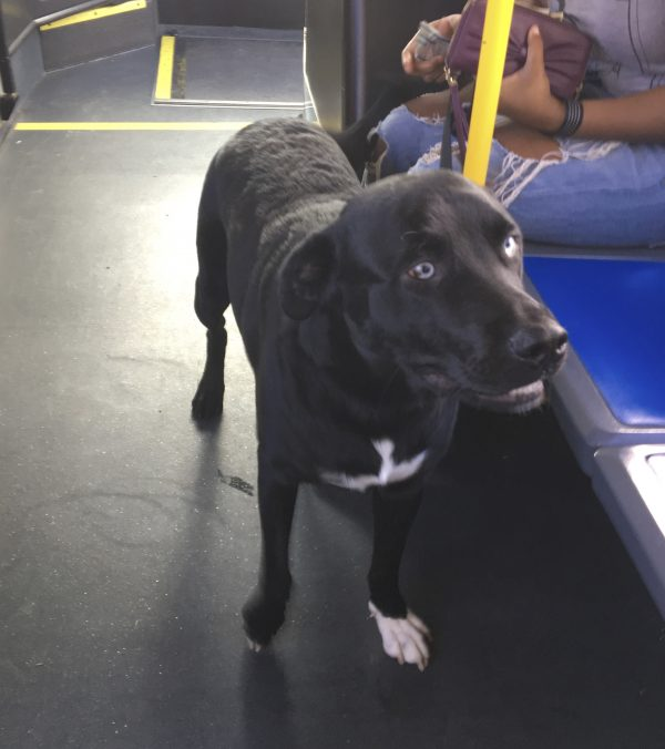 Labrador Retriever Siberian Husky Mix On A Bus