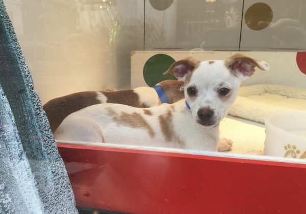 Two Jack Russel Mix Puppies In A Store Window Display