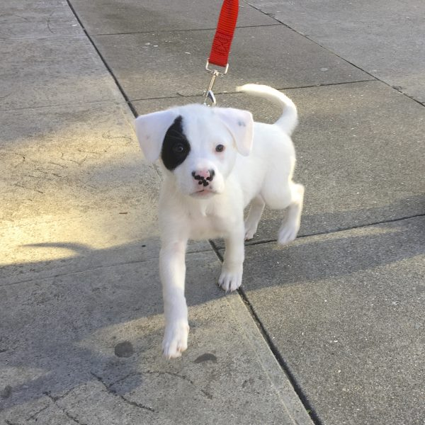 Adorable Little Black And White Puppy On Red Leash