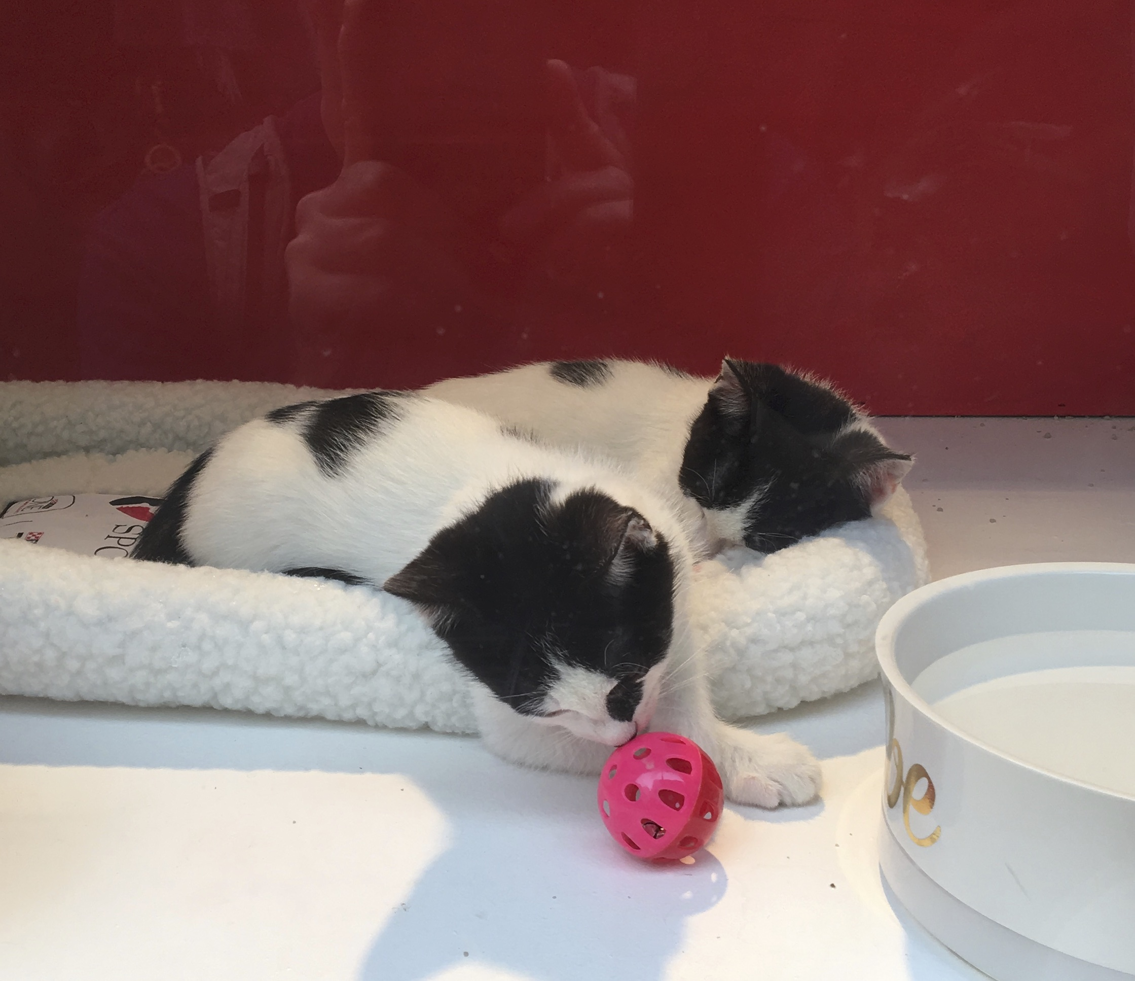 Two Black And White Kittens, One Sleeping, One Playing With A Ball