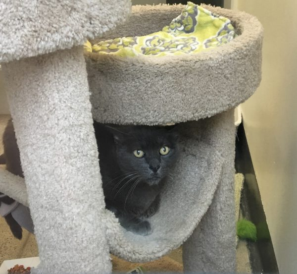 Grey Cat On A Cat Tree