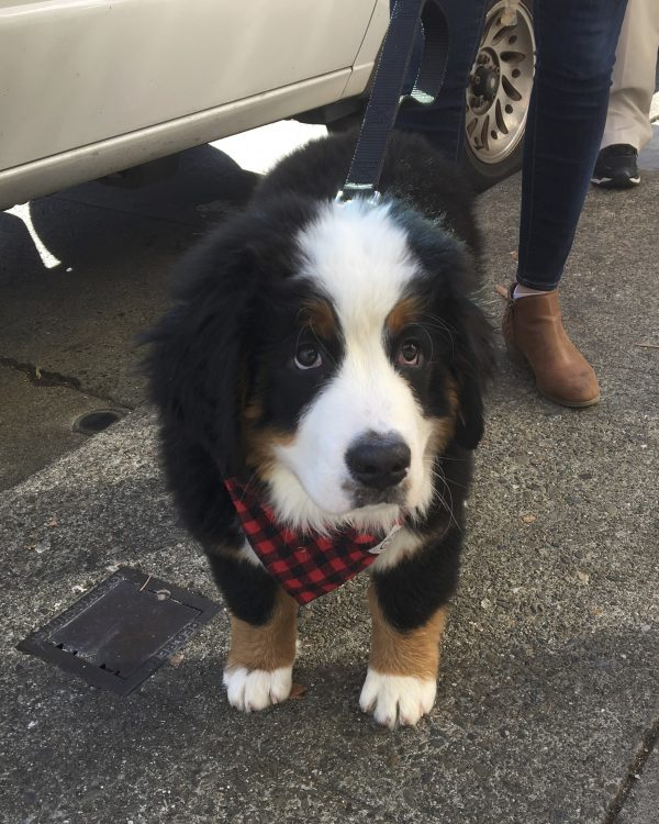 Bernese Mountain Dog Puppy With Puppydog Eyes