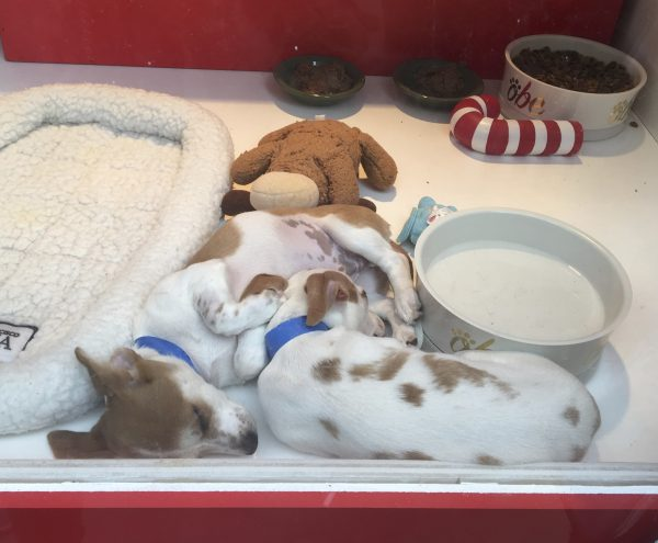 Two Sleeping Jack Russell Terrier Mix Puppies