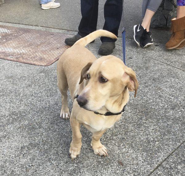 Basset Hound Labrador Retriever Mix Looking Sad