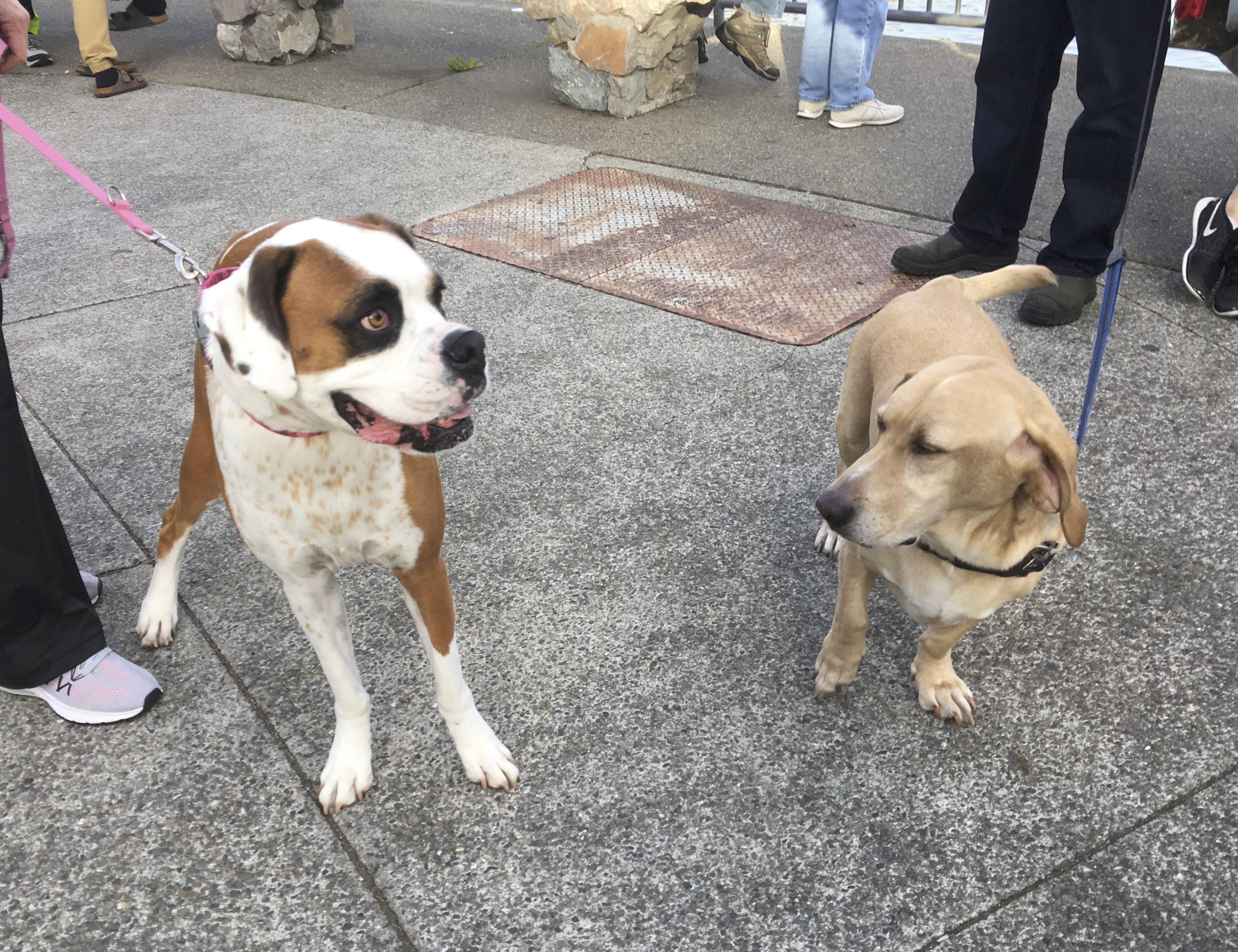 Boxer Looking Completely Insane Next To Basset Hound Labrador Retriever Mix Looking Cool And Collected
