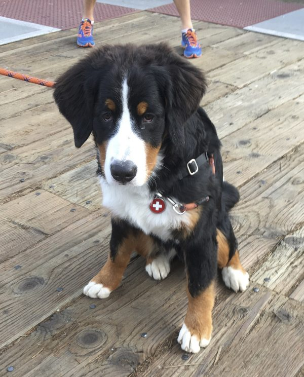 Bernese Mountain Dog Puppy Giving Puppydog Eyes