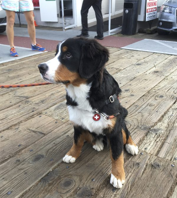 Bernese Mountain Dog Puppy Giving Puppydog Eyes