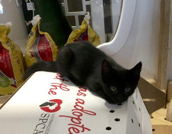 Black Kitten With Pretty Eyes Stares At Camera