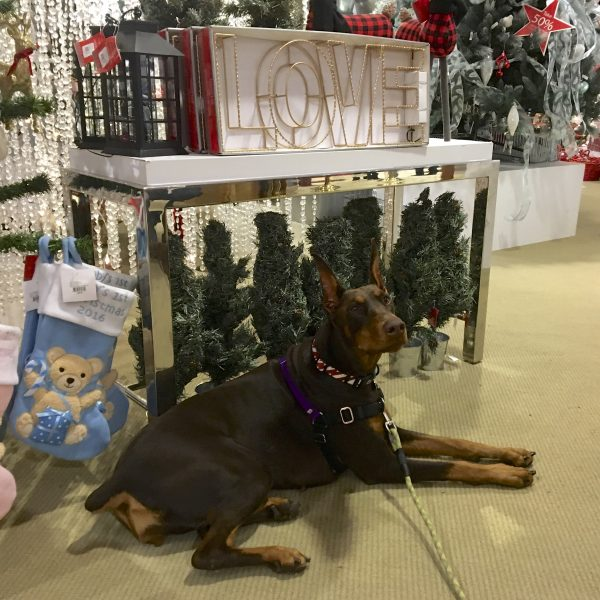 Doberman Pinscher Posing In Front Of Holiday Display