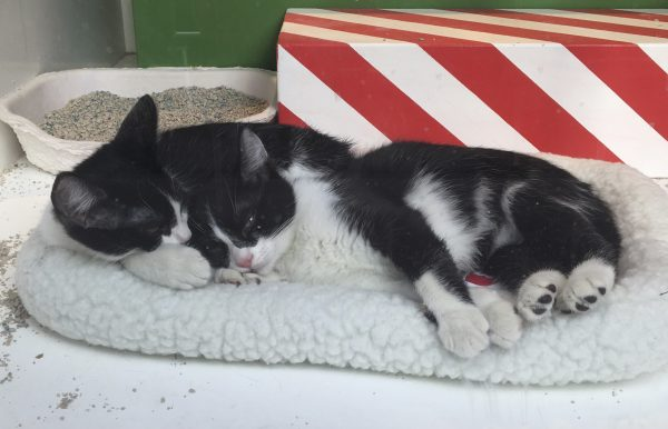 Two Tuxedo Kittens Lying On A Cat Bed In A Macy's Department Store Window In San Francisco