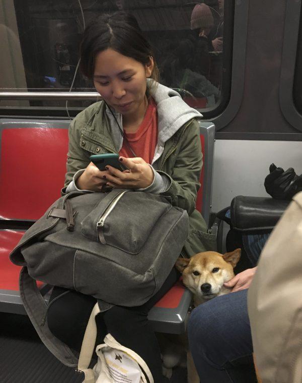 Shiba Inu Sandwiched Into A MUNI Train In San Francisco