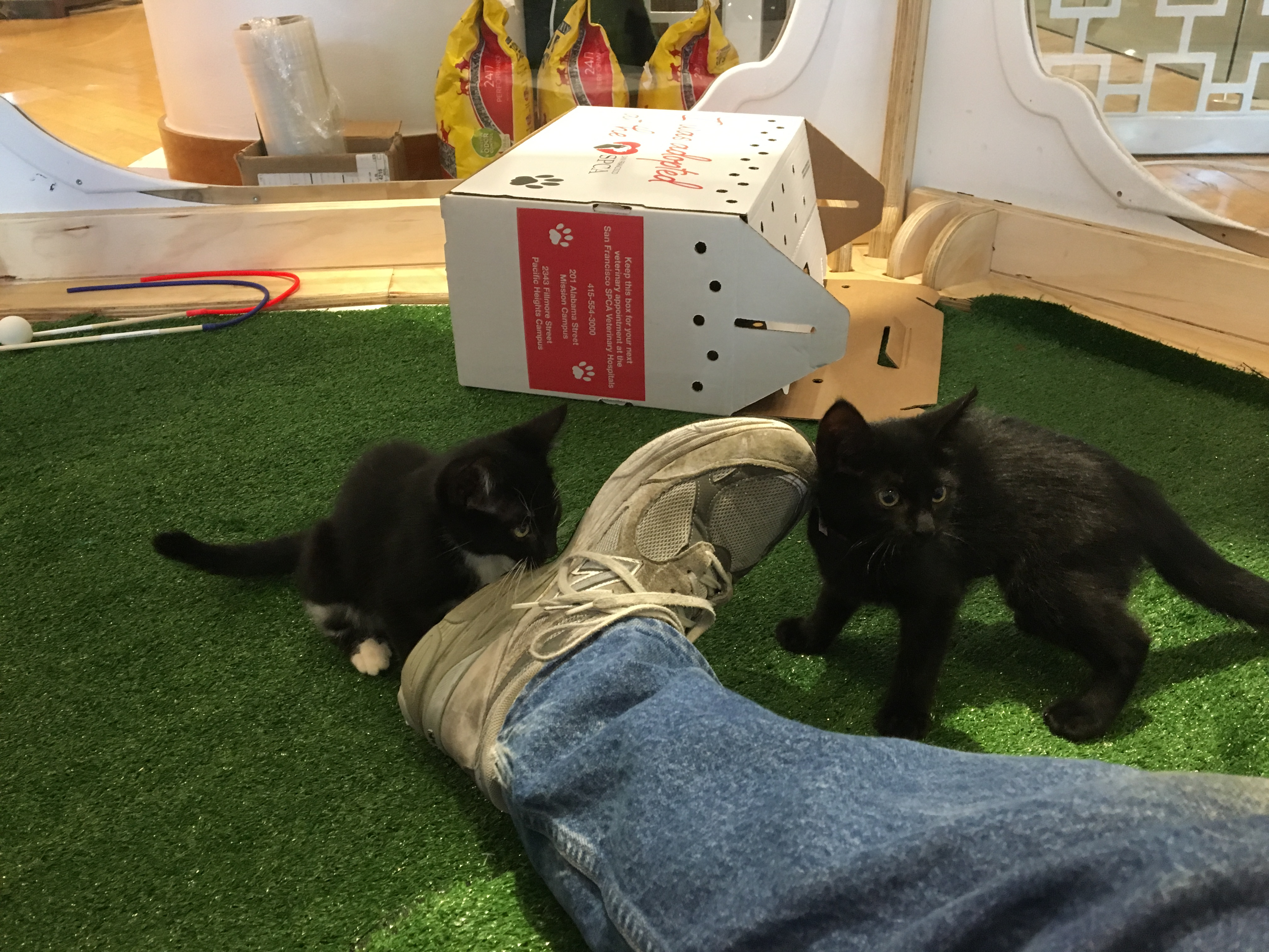 Two Kittens Investigating The Photographer's Right Sneaker