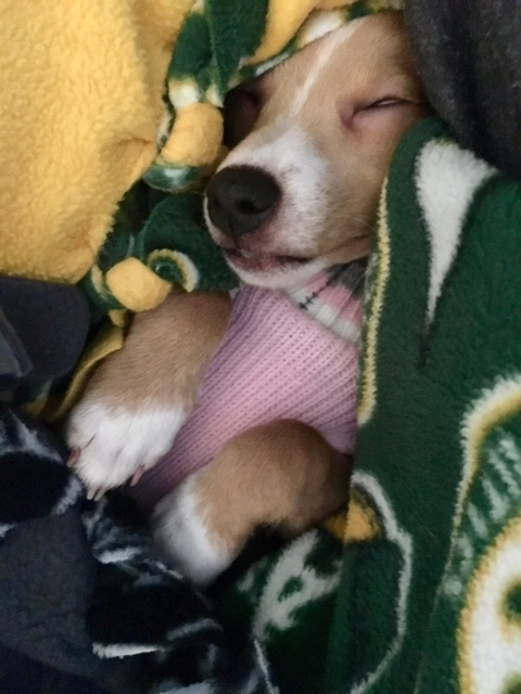 Puppy Cuddled Into Oakland As Blanket