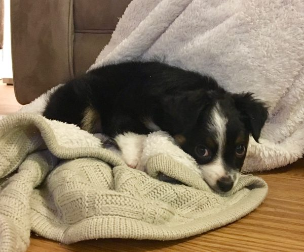 Australian Shepherd Puppy Giving The Most Ridiculous Puppydog Eyes Ever