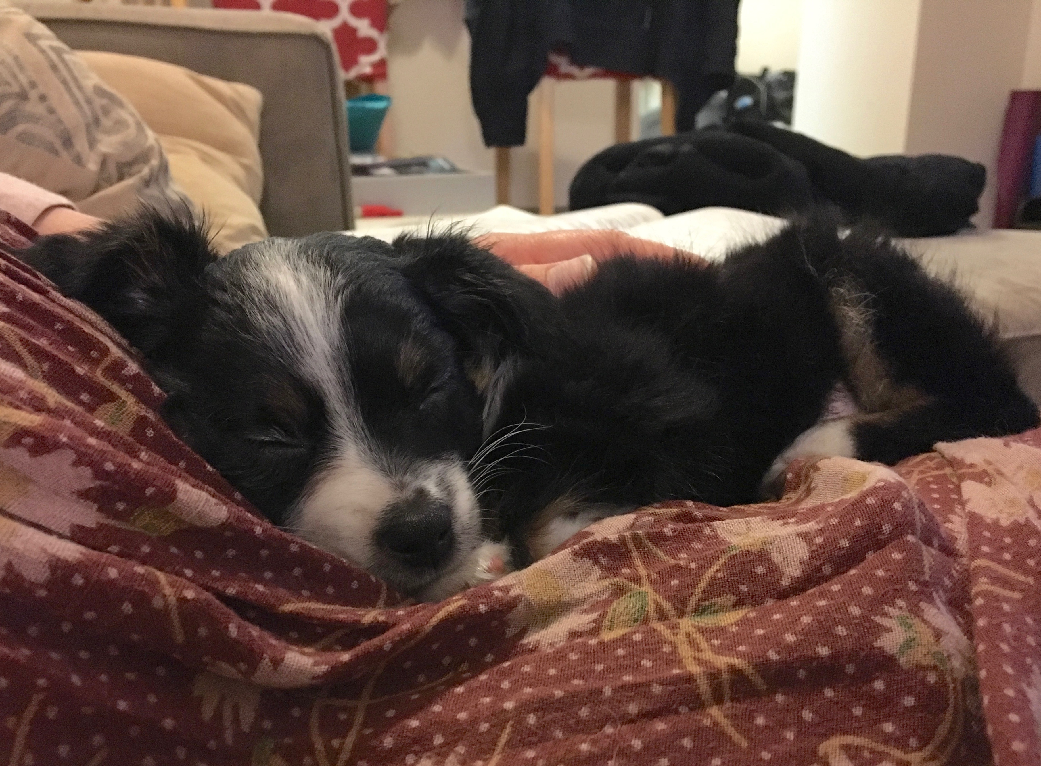 Ridiculously Adorable Australian Shepherd Puppy Napping