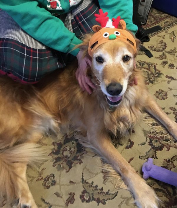 Golden Retriever Wearing Silly Christmas Hat