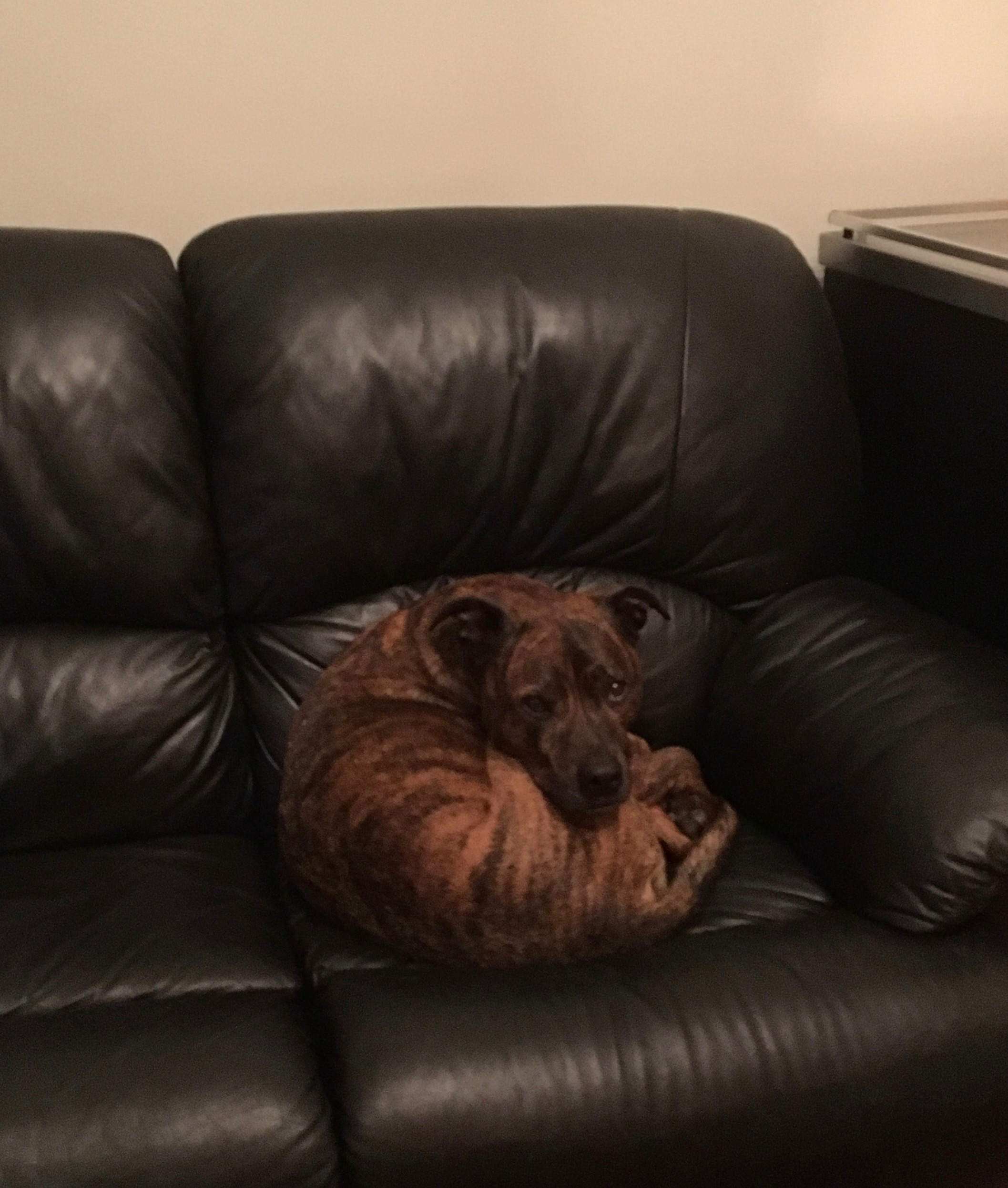 Brindled Hound Curled Up On A Sofa And Looking At The Camera