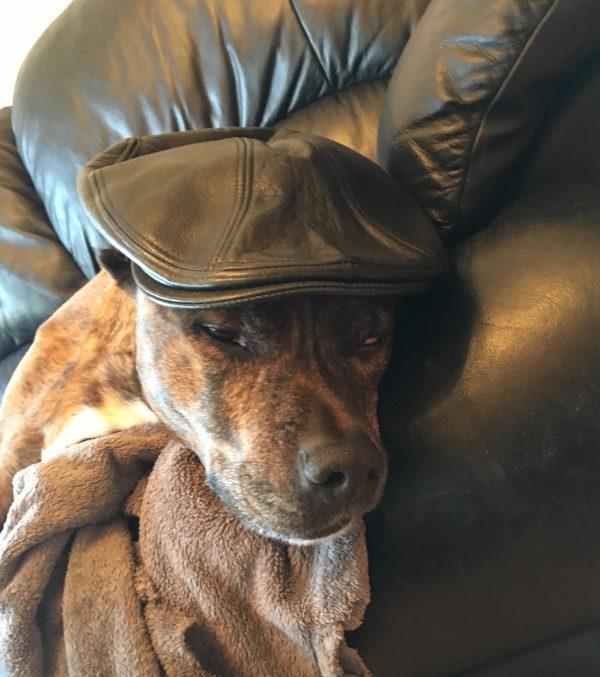 Brindled Dog Wearing A Black Leather Flat Cap