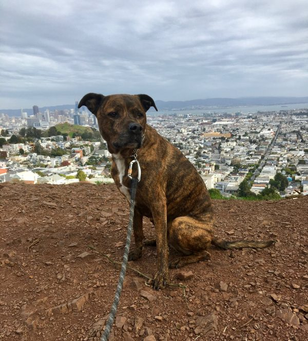 Brindled Hound Sitting In Front Of A Pretty View Of Downtown San Francisco