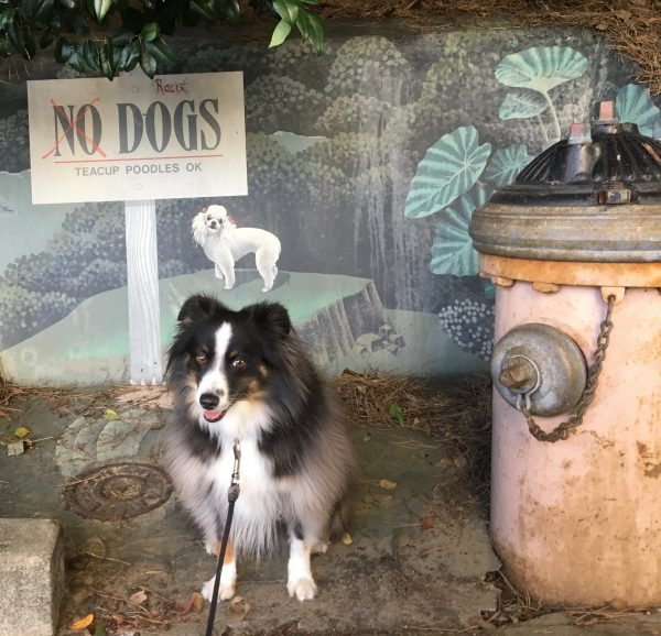 Miniature Australian Shepherd Next To Fire Hydrant And No Dogs Teacup Poodles Okay Sign Mural