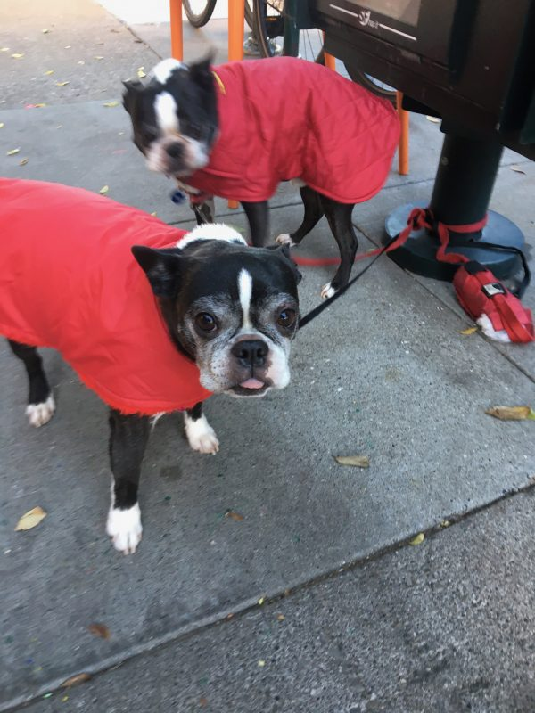 Two Black And White Boston Terriers Wearing Red Jackets