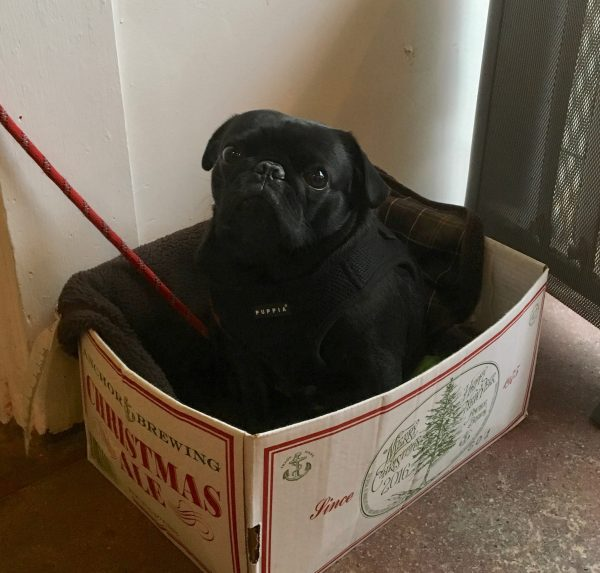 Black Pug In Cardboard Box