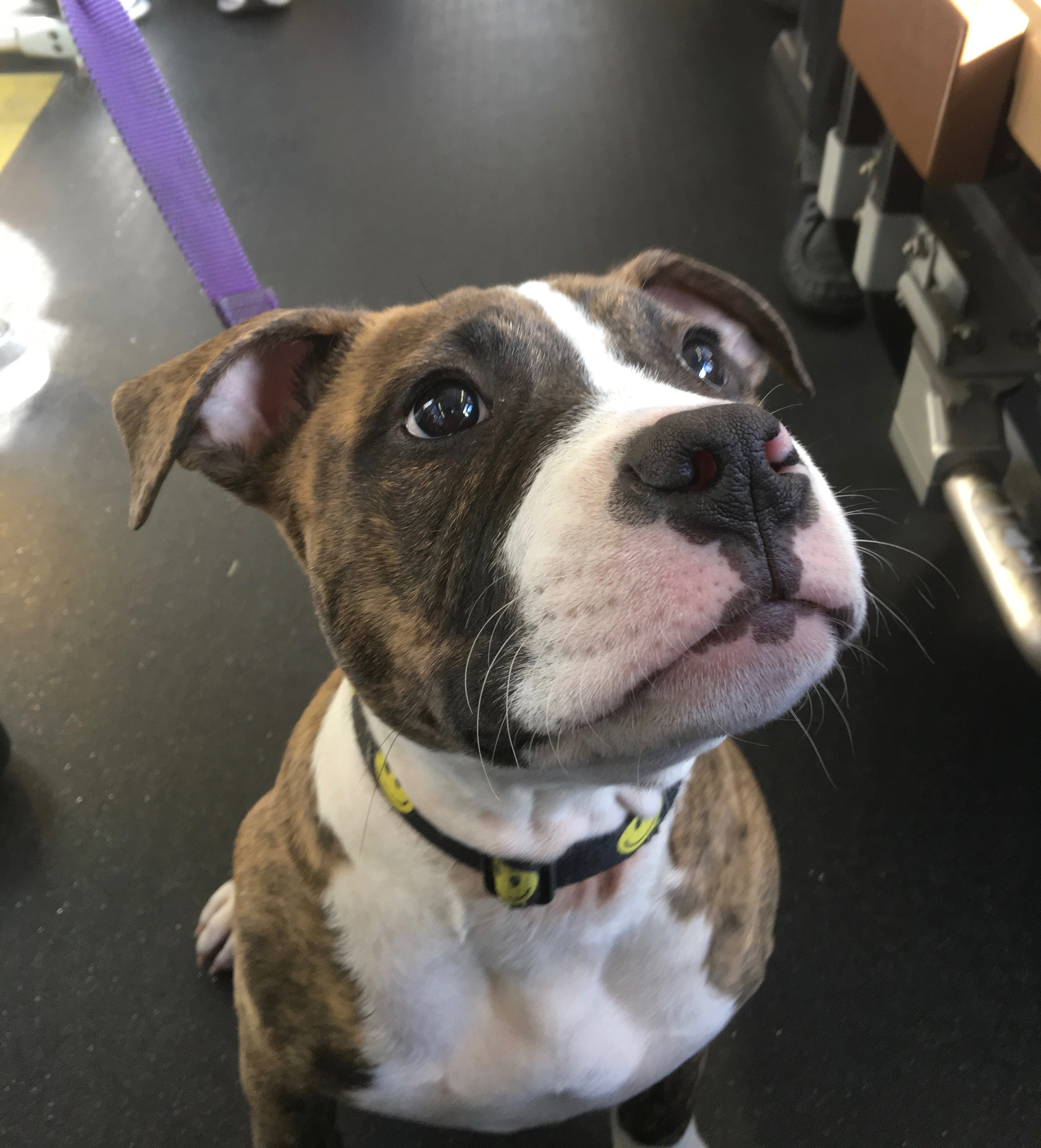 Pit Bull Mix Puppy With Puppydog Eyes From Hell