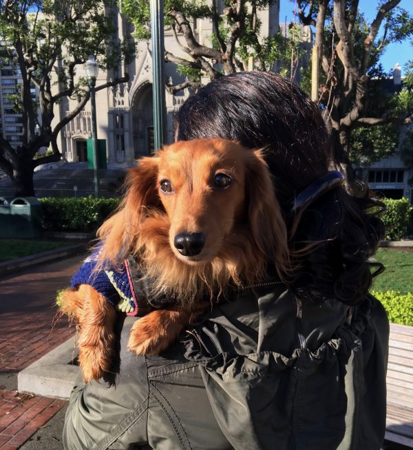 Woman Holding Brown Long-Haired Dachshund