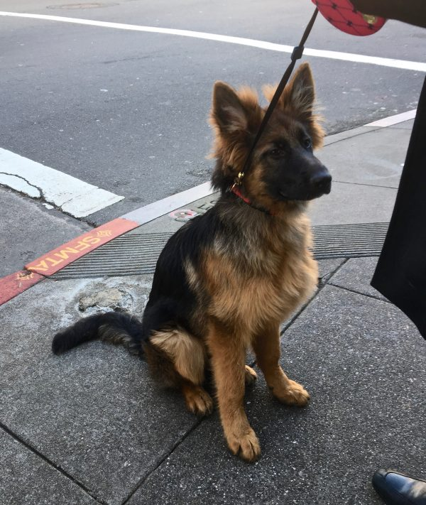 Four Month Old German Shepherd Puppy With Amazingly Fluffy Ears