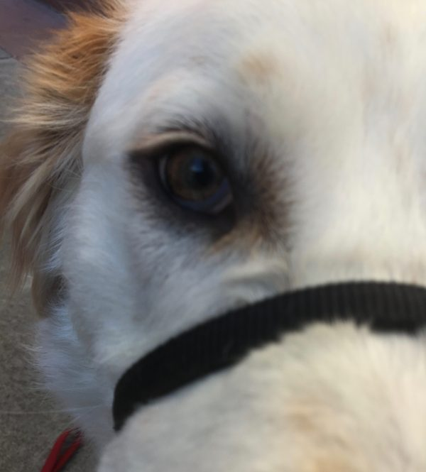 Extreme Closeup Of Great Pyrenees Mix Staring Into Camera