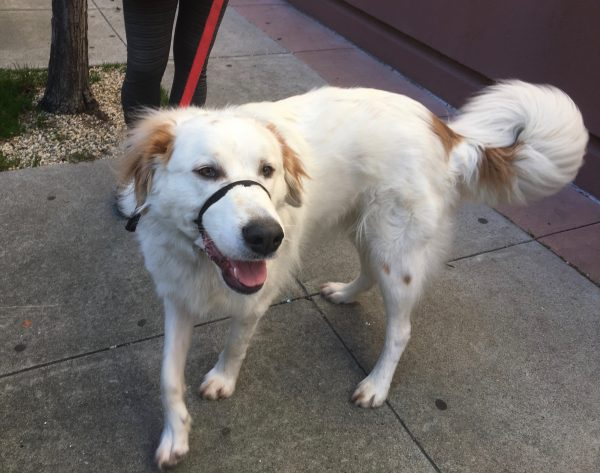 Great Pyrenees Mix Grinning At The Camera