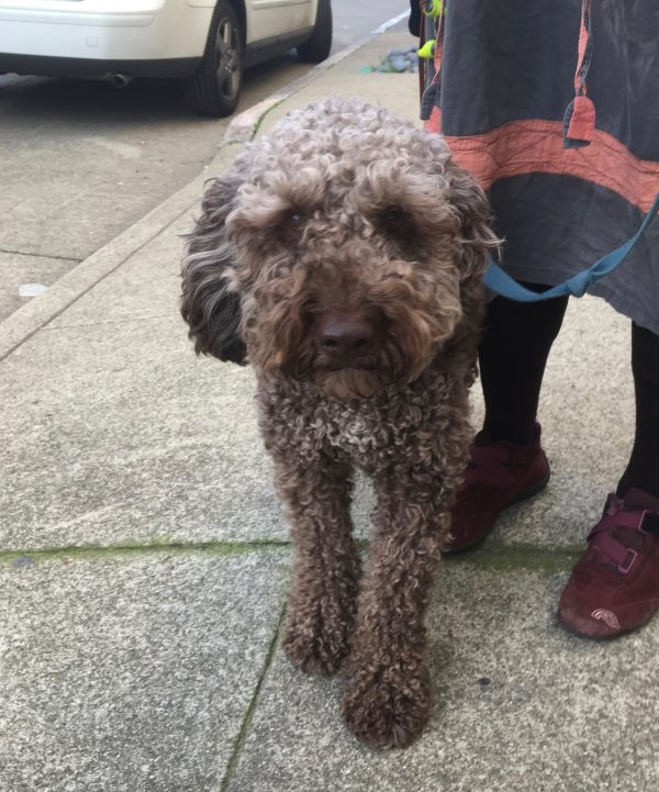 Lagotto Romagnolo Eyeing The Camera