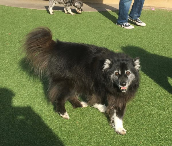 Keeshond Mix Grinning And Walking Towards Photographer