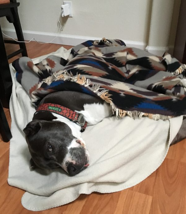 Bluenose Pit Bull In A Dog Bed Lying Under Some Blankets