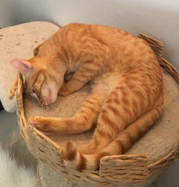 Marmalade Tiger Tabby Cat Curled Up In A Basket