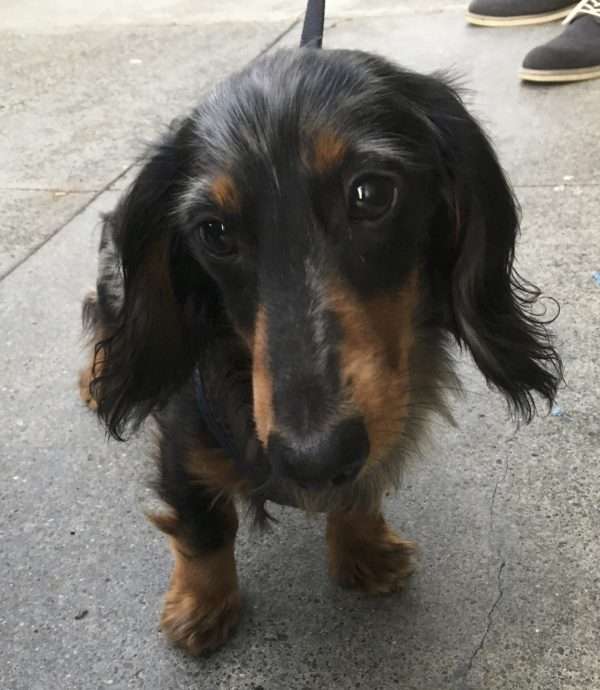 Long-Haired Black And Tan Dachshund With Blue Dappling